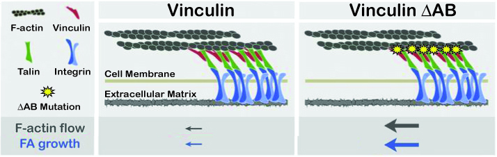 When F-actin binds vinculin, actin flow rate is slowed and the cell can move forward. When vinculin is impaired in F-actin binding, F-actin does not engage the focal adhesion and actin retrograde flow increases.