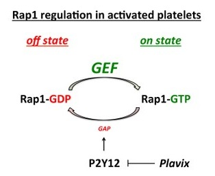 Plavix hits its target, the receptor P2Y12 triggers the Rasa3 (GAP) protein to stay in the position. This keeps the platelet's system on, which means the platelet cannot stay active and sticky; it cannot help form a clot. (credit: Bergmeier lab)