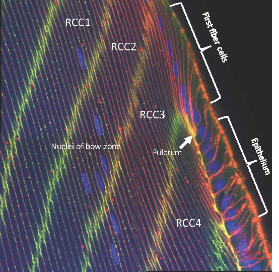 Epithelium-Fiber Cell Transition In Galago Lens