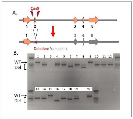 CRISPR-Mediated-Gene-Deletion-in-Mice