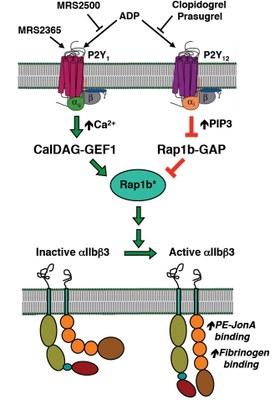 A diagram of Platelet P2Y Receptor Regulation