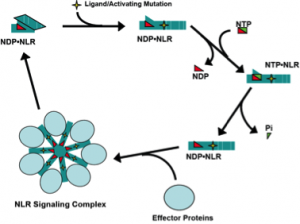 Diagram of hypothetical model of NLR protein signaling