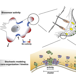 """""""Biosensors based on peptide exposure show single molecule conformations in live cells"""" Graphical Abstract"""